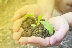 Manos que sostienen una pequeña planta verde que crece en suelo sano marrón Fotografía de archivo