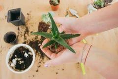 Manos que sostienen una planta verde joven foto de archivo
