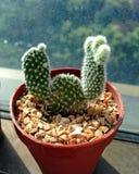 2 manos suben el cactus Fotos de archivo