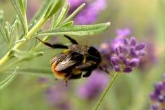 Manosee el acoplamiento de la abeja Foto de archivo libre de regalías