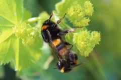 Manosee el acoplamiento de las abejas Fotos de archivo libres de regalías