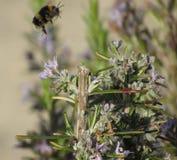 Manosee el aterrizaje de la abeja Fotos de archivo