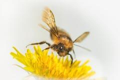 Manosee el aterrizaje de la abeja en la flor del diente de león Fotos de archivo