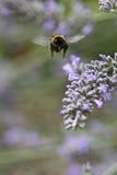 Manosee el aterrizaje de la abeja en lavendar con la lengüeta hacia fuera Foto de archivo