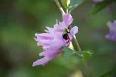 Manosee el aterrizaje de la abeja en Rose de Sharon Fotografía de archivo libre de regalías