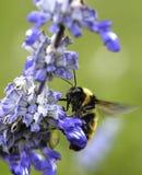 Manosee el aterrizaje de la abeja en una flor Fotos de archivo libres de regalías