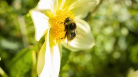 Manosee el aterrizaje de la abeja en una flor almacen de video