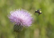 Manosee el cardo de leche inminente de la abeja Imagenes de archivo