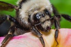 Manosee el cierre de la abeja para arriba Fotografía de archivo
