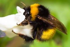 Manosee el cierre de la abeja para arriba Imagen de archivo