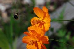 Manosee el cosmos de salida de la abeja Foto de archivo libre de regalías