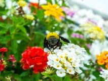 manosee el dulce del hallazgo de la abeja de la flor de la belleza del lantana Imágenes de archivo libres de regalías
