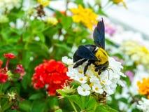manosee el dulce del hallazgo de la abeja de la flor de la belleza del lantana Foto de archivo libre de regalías