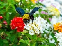 manosee el dulce del hallazgo de la abeja de la flor de la belleza del lantana Foto de archivo