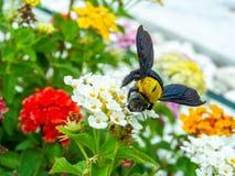 manosee el dulce del hallazgo de la abeja de la flor de la belleza del lantana Imagenes de archivo
