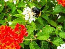 manosee el dulce del hallazgo de la abeja de la flor del lantana Foto de archivo