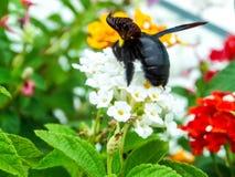 manosee el dulce del hallazgo de la abeja de la flor del lantana Fotografía de archivo libre de regalías