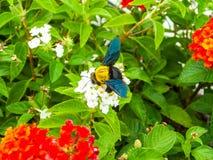 manosee el dulce del hallazgo de la abeja de la flor del lantana Imagenes de archivo