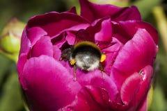 Manosee el extremo de la abeja Fotografía de archivo