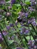 Manosee el néctar de consumición de la lengua de la abeja imágenes de archivo libres de regalías