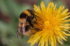 Manosee el néctar de los frunces de la abeja de una flor del diente de león Foto de archivo