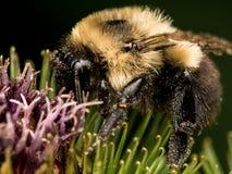 Manosee el perfil de la abeja en la flor verde y púrpura Foto de archivo libre de regalías