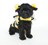 Manosee el perrito de la abeja Imagenes de archivo