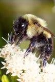Manosee el polen Imagen de archivo