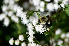 Manosee el polen de la flor de la abeja Foto de archivo libre de regalías