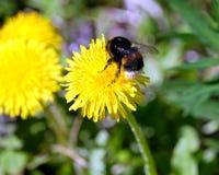 Manosee el polen de los frunces de la abeja en los pétalos de una flor del diente de león, en hierba verde en una opinión clara,  Fotografía de archivo libre de regalías