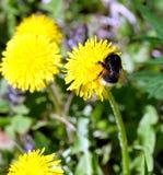 Manosee el polen de los frunces de la abeja en los pétalos de una flor del diente de león, en hierba verde en una opinión clara,  Fotografía de archivo