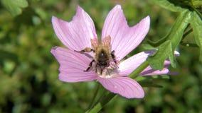 Manosee el polen de los frunces de la abeja de una flor Imagen de archivo libre de regalías