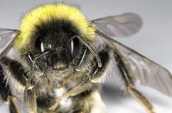 Manosee el primer de la abeja Fotografía de archivo