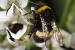 Manosee el primer de la polinización de la abeja Imágenes de archivo libres de regalías