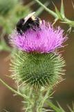 Manosee el thisle de polinización de la abeja Fotografía de archivo libre de regalías