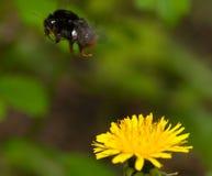 Manosee el vuelo de la abeja de la flor Fotografía de archivo