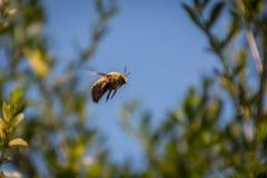 Manosee el vuelo de la abeja en el aire Imágenes de archivo libres de regalías