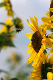 Manosee el vuelo de la abeja hacia la planta del girasol Imagenes de archivo