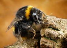 Manosee la abeja Foto de archivo libre de regalías