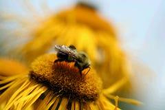 Manosee la abeja Imagen de archivo