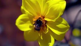 Manosee la abeja almacen de metraje de vídeo