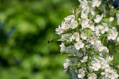 Manosee la abeja Fotos de archivo libres de regalías