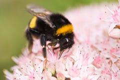Manosee la abeja Imagenes de archivo