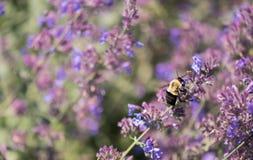 Manosee la abeja Imágenes de archivo libres de regalías