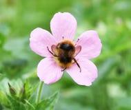 Manosee la abeja Fotografía de archivo libre de regalías
