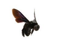 Manosee la abeja aislada Fotografía de archivo libre de regalías