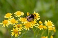 Manosee la abeja (Anthophila) que recoge el polen de un Ragwort de oro Imagen de archivo libre de regalías