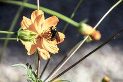 Manosee la abeja, bebiendo el néctar de una flor amarilla Fotografía de archivo