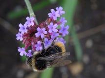 Manosee la abeja (bombus) cubierta en polen Fotografía de archivo libre de regalías