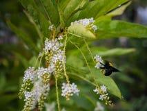 Manosee la abeja come el néctar Fotografía de archivo